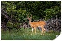 Deer, Print