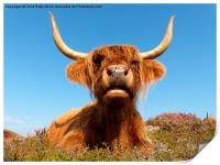 Highland Cow, Highland Cattle, Scotland, Print