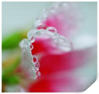 Abstract of raindrops on a Petunia flower leaf , Print