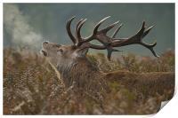 Red Deer Stag, Print