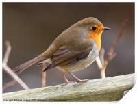 Friendly Robin (Erithacus rubecula), Print