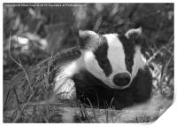 Black & white Badger Mustelidae, Print