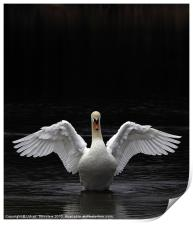 Mute Swan stretching it's wings, Print