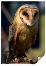 Dusk Dark Beasted Barn Owl, Print