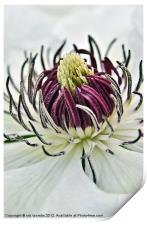 NECTAR OF A CLEMATIS, Print