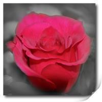 beautiful red rose, Print