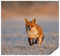 Fox Close Up, Print