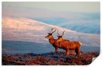Red deer stags, Print