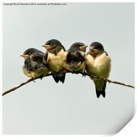 Swallow Fledglings 2, Print