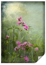 Red Catchfly (Campion), Print