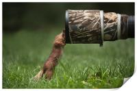 Red Squirrel inspecting a camera lens., Print