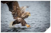 Male White-tailed Eagle, Print