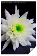 Chrysanthemum on black, Print