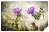 Scottish Thistle, Print
