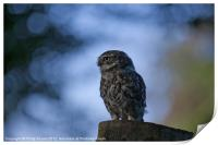 Little Owl On Tree Stump, Print