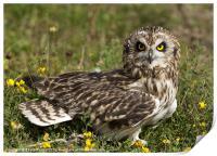 Short Eared Owl Sitting, Print