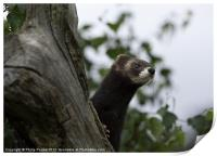 Polecat on the lookout, Print