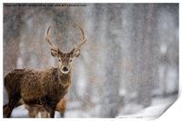 Red Deer, Print