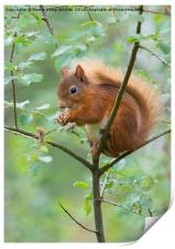 Red Squirrel , Print