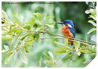 Kingfisher in The Bush, Print
