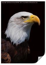 Bald Eagle 1 , Print