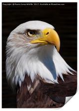 Bald Eagle 2, Print