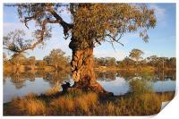 River Murray reflections, Print