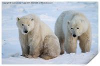 Polar Bears, Churchill, Canada, Print