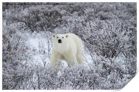 Polar Bear in The Arctic Willow, Print