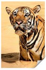 Dripping Tiger, Kanchanaburi, Thailand , Print