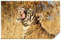 Yawn: Sub-Adult Male Bengal Tiger, Print