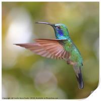 Green Violetear Hummingbird, Print