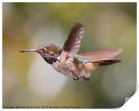 Scintillant Hummingbird, Print