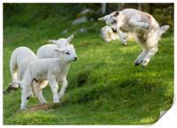 Spring Lamb Springing, Print