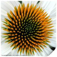 Echinacea Plant, Print