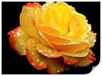 Rain droplets on a Rose , Print