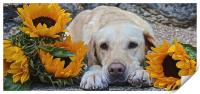 My Labrador My little Sunflower, Print