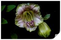 Cobaea Scandens Flower, Climber Vine, Print