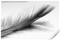 Feather and it's reflection in B&W, Print