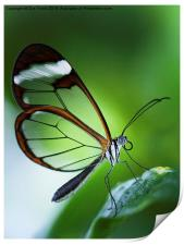 Macro photograph of a Glasswinged Butterfly, Print