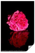 Pink Peony, Print