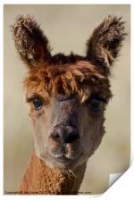 Bright eyed Alpaca, Print