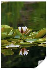 Water Lily reflection, Print