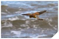 Kestrel hovering (Falco tinnulculus), Print