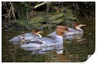 Goosander mother and young, Print