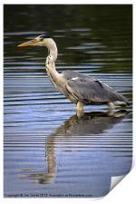 Grey Heron reflected in calm water, Print