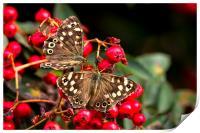 Butterflies feeding, Print