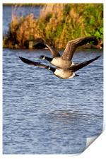 Canada Geese in flight, Print