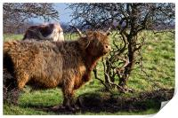 Highland cattle and a gnarled tree, Print