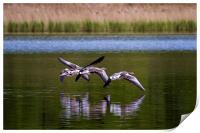 Greylags in flight, Print